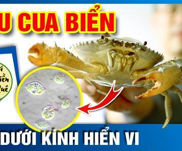 ¿Qué es una sangre de cangrejo de mar bajo el microscopio? #Nguoi_Mien_Que